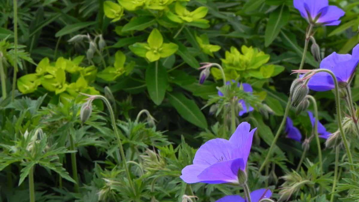 combinatie van geranium en Euphorbia in dit blauw en geelgroene borderplan