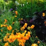 de oranje kleur van Geum 'Prinses Juliana' wordt intenser door het donker aubergine kleurige blad van de Ligularia op de achtergrond.