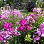 Allerlei tinten roze Ploxen bloeien samen met Verbena in deze zonnige zomerborder.