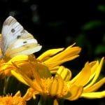 Gele bloem van Ligularia met een koolwitje erop.