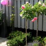 Rosa 'Eden' op stam tegen de lichtgrijze schutting. Lavendel aan de voet van de stamrozen