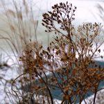 uitgebloeide schermen van duizendblad (Achillea) op een koude winterdag