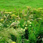 De planten in zachtgele en crème kleuren zijn als een bloemenwei door elkaar geplant.