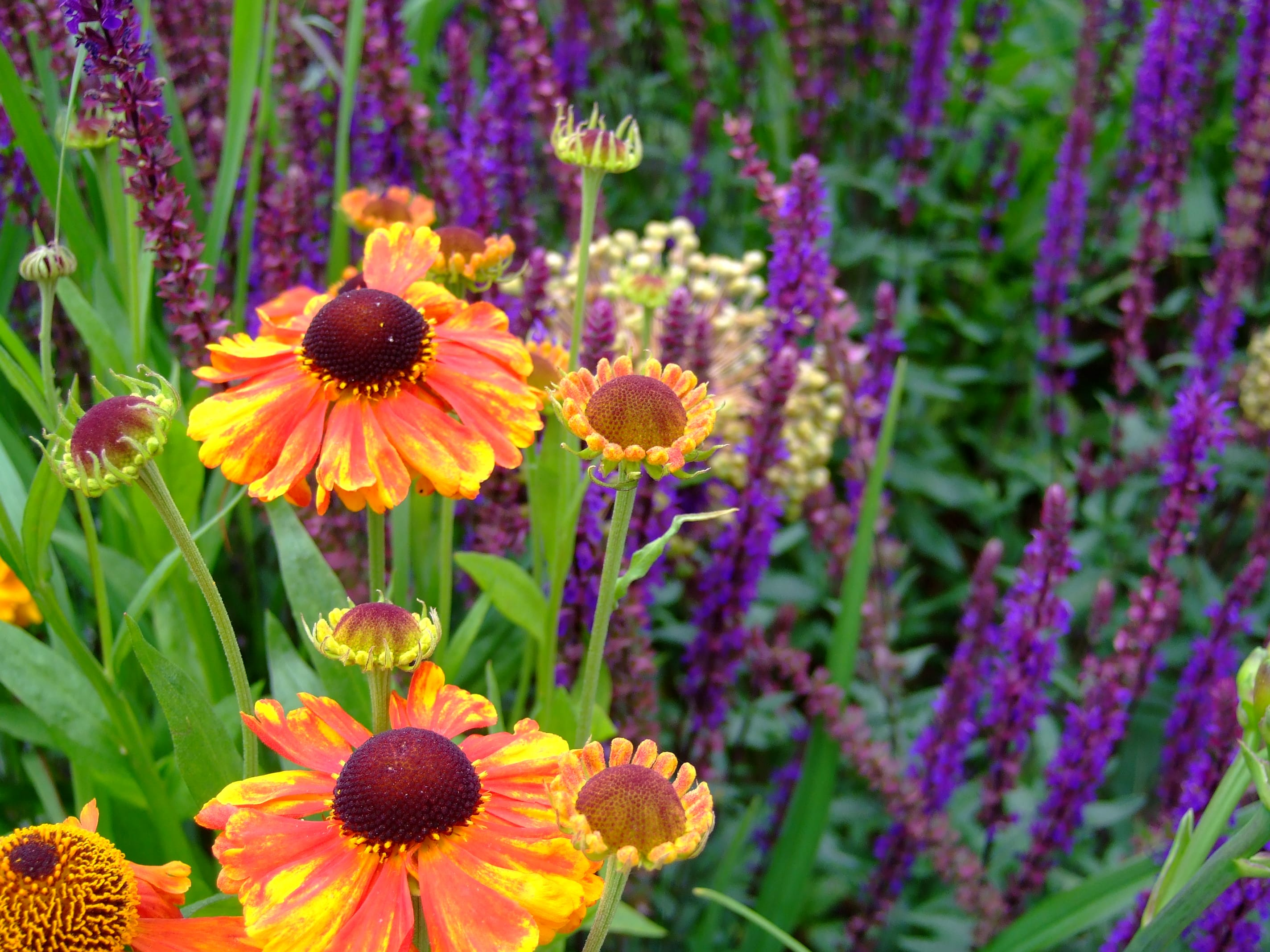 combinatie van Helenium 'Sahin's Early Flowerer' en Salvia 'Caradonna'