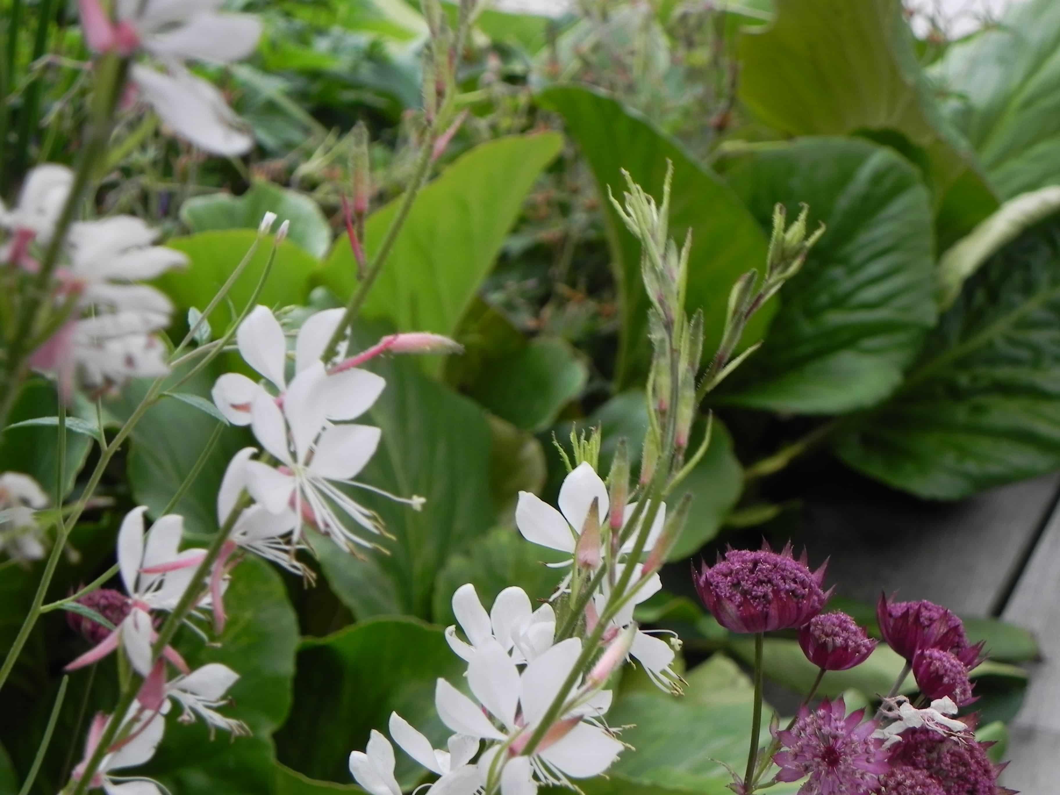 combinatie van Bergenia, Gaura en aubergine kleurige Astrantia