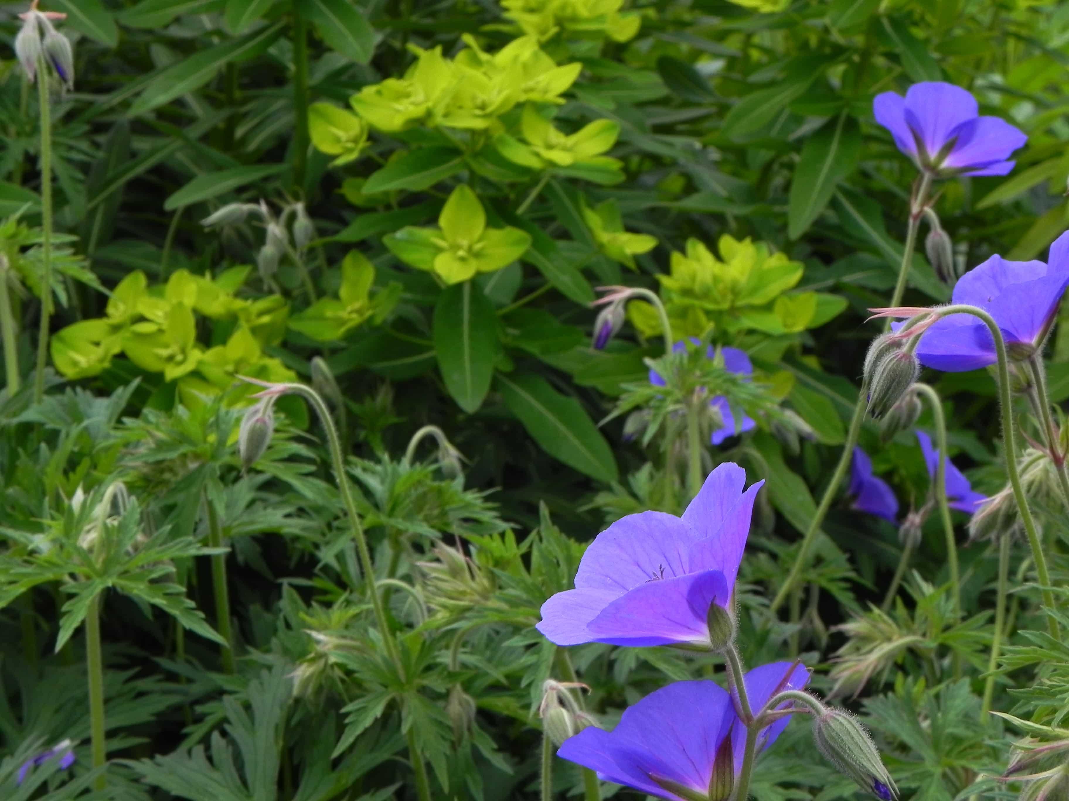 Combinatie van Euphorbia wallichii (wolfswelk) en geranium 'Rosanne'