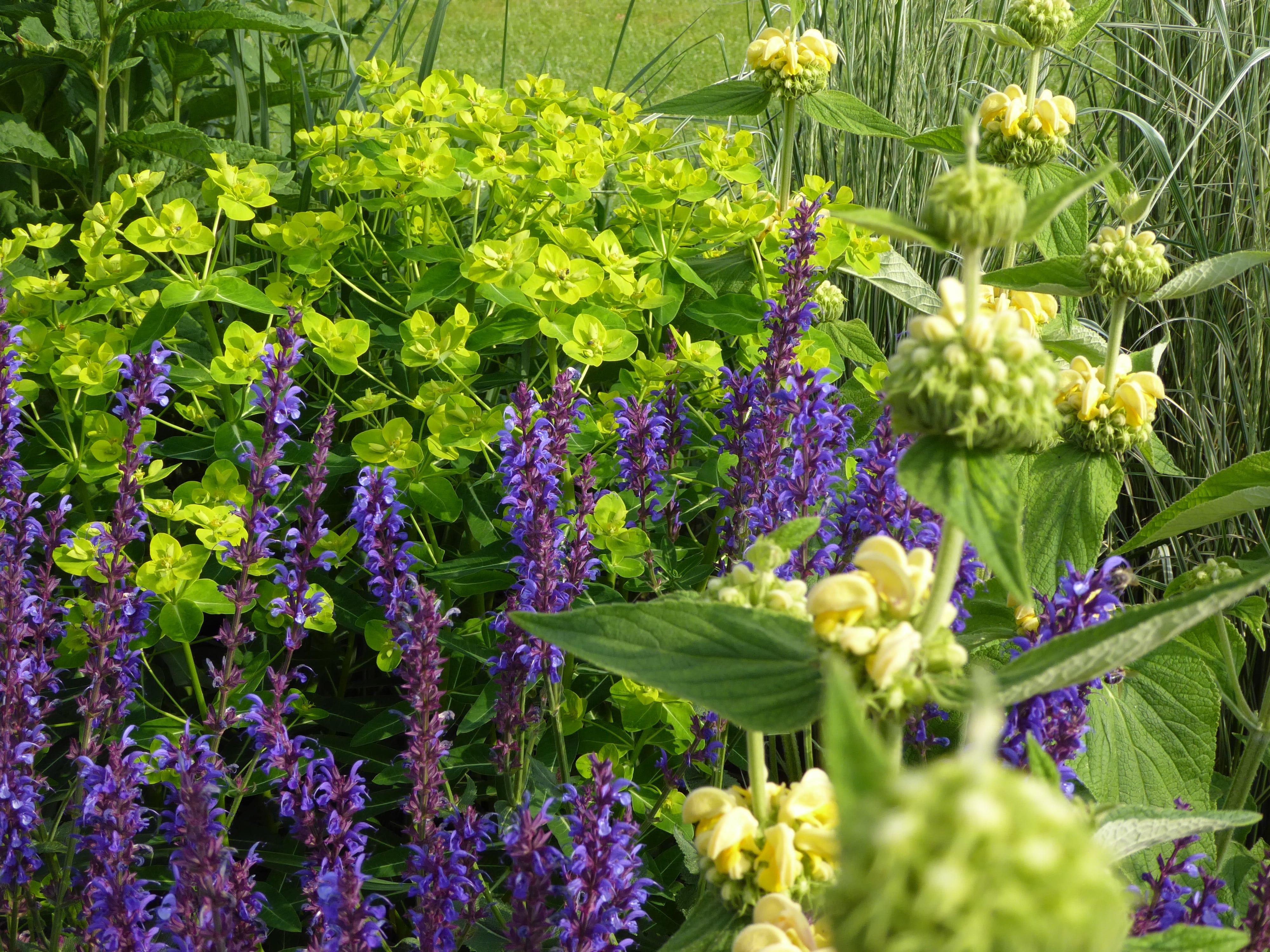combinatie van Salvia 'Caradonna' (salie), Phlomis russeliana (brandkruid) en Euphorbia wallichii (wolfsmelk)