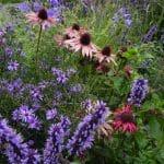 Close-up van de prairieborder met onder andere Agastache 'Black Adder', Aster 'Treffpunt' en Echinacaea
