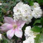 De witte klimroos Rosa 'Guirlande d' Amour' en zachtroze Clematis 'Caroline' groeien door elkaar heen