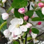 wit roze bloesem van de sierappel Malus 'Evereste'