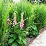 Grassenhaag van Panicum 'Northwind' en Digitalis mertonensis