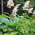 in het schaduwgedeelte van de tuin groeien Rodgersia's (schout bij Nacht), Darmera (schildblad) en Euphorbia amygdaloïdes (amandelwolfsmelk)