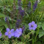 Beplantingscombinatie van Salvia 'Caradonna' en paarse geraniums