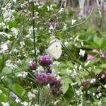 Verbena bonariense (IJzerhart) omgeven door de luchtige pluimen van Thalictrum delavayi 'Splendide White' trekt een koolwitje aan.