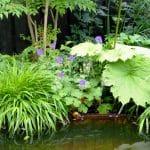 groot blad van Astilboïdes tabularis en siergras Hakenochloa macra hangt samen met blauwpaars bloeiende geraniums over de cortenstaal rand van de vijver