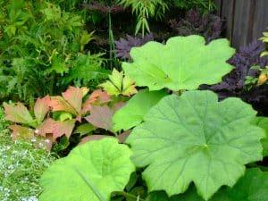 Schildblad (Astilboïdes tabularis) is een plant die met zijn grote blad goed bij water past.