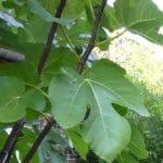 groot blad van de vijg