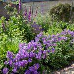 Een zonnige border met veel lila geraniums, vingerhoedskruid, vrouwenmantel en sieruien.