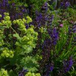 Mooie plantcombinatie van diep paarsblauwe Salvia, geelgroene vrouwenmantel en diep groen siergras.