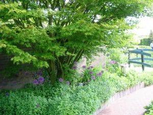 japanse esdoorn, geschikte boom voor een kleine tuin