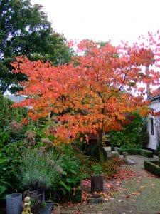Cercis canadensis in herfstkleur. Boom voor een kleine tuin