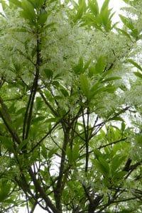 Chinanthus virginicus, langzaam groeiende boom voor een kleine tuin