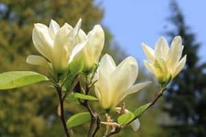 Magnolia 'Elizabeth' kan opgekroond worden tot een kleine meerstammige boom