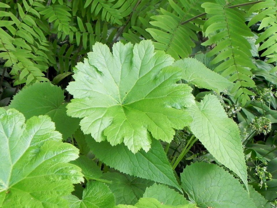 groot blad is zeer geschikt om in kleine tuinen te gebruiken