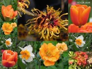 compositie van oranje bloeien die bloeien in het voorjaar