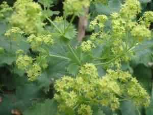 Alchemilla mollis, detail bloem