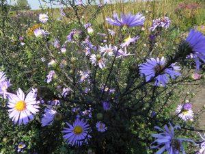 Aster laevis 'Arcturus', bloei