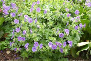Geranium magnificum 'Rosemore' bloei