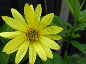 helianthus 'Lemon Queen', zonnige standplaats, 2m hoog