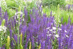 Salvia nem. Mainacht, Ornithogalum magnum en Allium atropurpureum