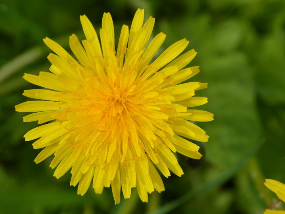 paardenbloem bloem